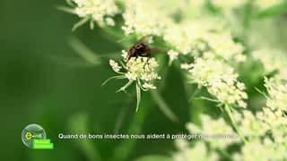 Quand de bons insectes nous aident à protéger nos cultures !