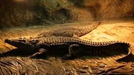 Idemo u ZOO : Epizoda 93 / Sezona 1 : Nilski krokodil