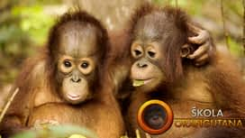 Škola orangutana en replay