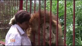 RTL INFO 19H : Jupiter, le lion qui faisait des câlins à sa gardienne, est en danger