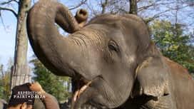 Expédition Pairi Daiza : 3 - Pédicure XXL chez les éléphants