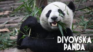 Divovska panda