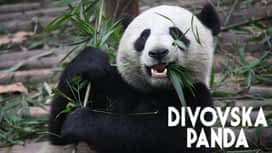 Divovska panda en replay