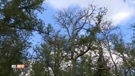 RTL INFO 13H : La sécheresse fait souffrir les arbres, et ça se voit...