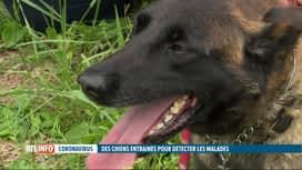 RTL INFO 19H : Coronavirus en Belgique: des chiens entraînés pour détecter les mal...