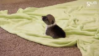 Akitas Terriers irlandais et Corgis