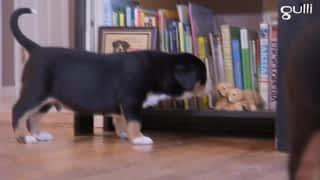 Grands Bouviers Goldendoodles et West Terriers