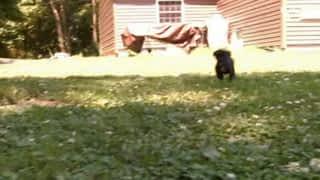 Boxers Cairn Terriers et Shar-Pei