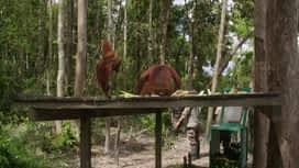 Škola orangutana : Epizoda 9