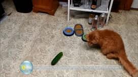 E=M6 : Les chats ont-ils la phobie des concombres ?