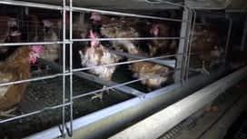 Enquête exclusive : Dénonciations des conditions d'élevage, les nouveaux scandales de la maltraitance animale dans Enquête Exclusive dimanche à 23:00 sur M6