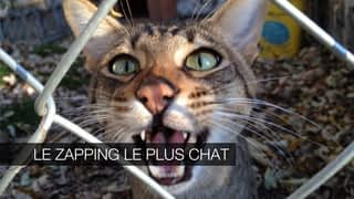 Le zapping le plus chat